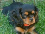 Wow! this is the most beautiful king charles spaniel