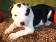Pure Breed English Staffordshire Bull Terrier Puppies for Sale