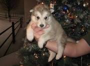 Good Looking Alaskan Malamute Puppies For Lovely Homes