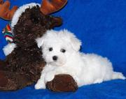 CUTE MALTESE  AKC PUPPIES FREE