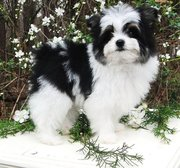adorable pumeranian available